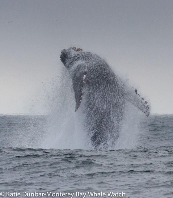 Not every day is sunny in Monterey Bay, but even the fog can reveal wonders like this breaching Humpback Whale, water rushing past pectoral fins and streaming off in sheets as the whale leaps into the air to land back in the water on its back.